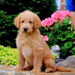Tammy/Female /Female /Labradoodle Puppy