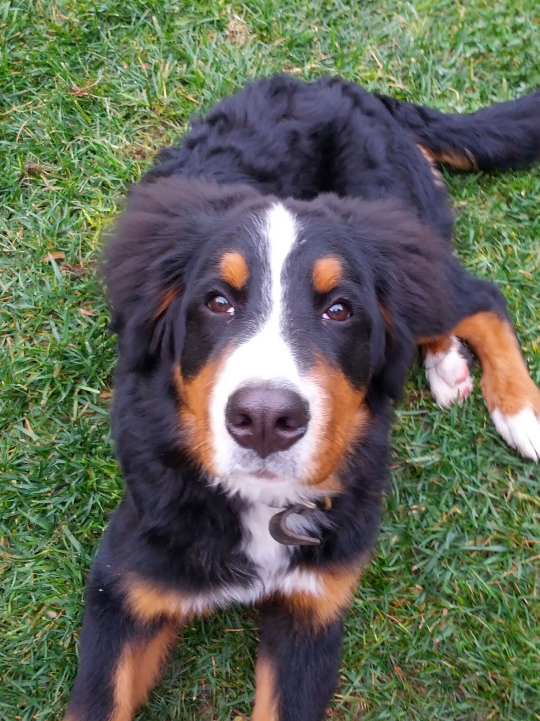 Bernese Mountain Dog Information Dog Breeds At Dogthelove